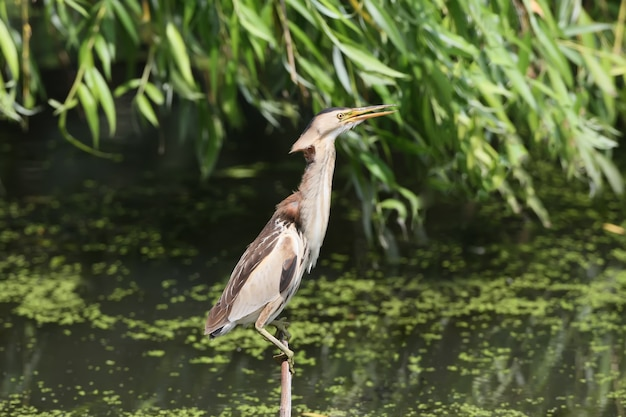 Samica trochę bąka siedzi na gałęzi na wodzie