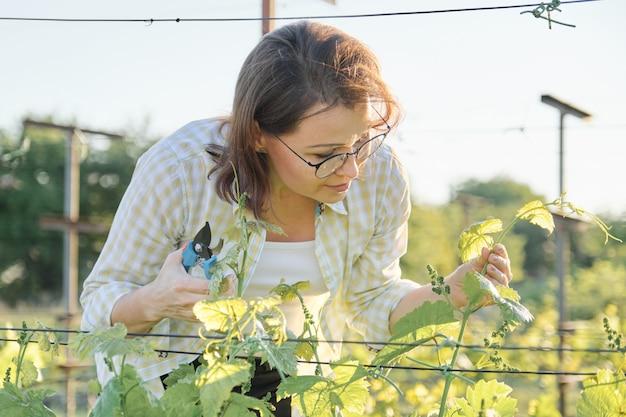 Samica z sekatorem tworzy krzewy winogronowe