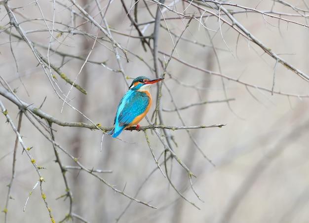 Samica zimorodka przyleciała na miejsce lęgowe i siada na gałęzi drzewa w oczekiwaniu na pana młodego