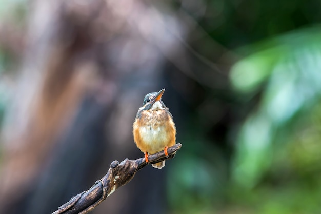 Samica zimorodka zwyczajnego (alcedo atthis) piękny kolor na gałęzi