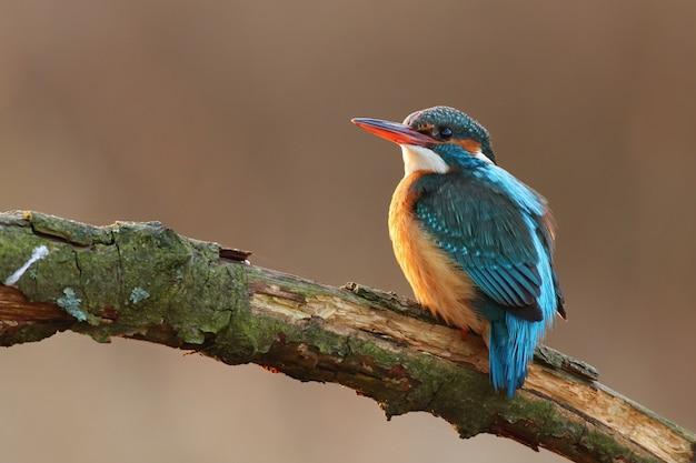 Samica zimorodka zwyczajnego wznosi się na gałązce nad rzeką
