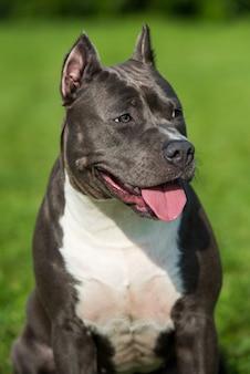 Samice niebieski pręgowany pies american staffordshire terrier lub zbliżenie amstaff na charakter