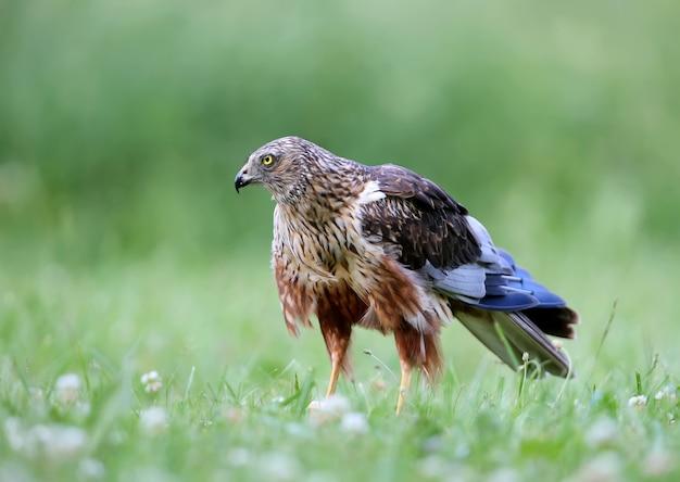 Samiec błotniak stawowy (circus aeruginosus) siedzi na ziemi wśród gęstej trawy. zbliżenie