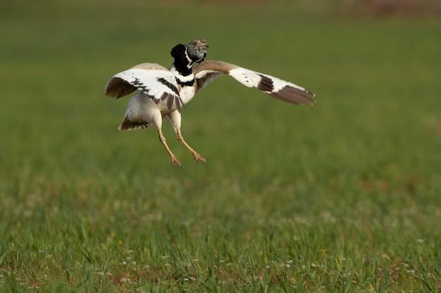 Samiec dropia podczas zalotów podczas rui, tańcząc i skacząc na swoim terytorium lęgowym na stepie w środkowej hiszpanii