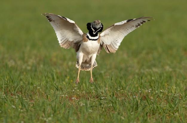 Samiec dropia wykonującego skoki w swym weselnym orszaku o pierwszym świetle dnia w swoim lęgowisku wiosną