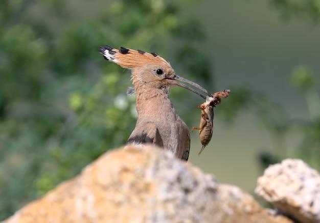 Samiec dudka siedzi na kamieniach w pobliżu gniazda i trzyma w dziobie złowione świerszcze.
