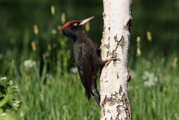 Samiec dzięcioła czarnego z pierwszym świetle poranka, dzięcioł, ptaki, dryocopus martius