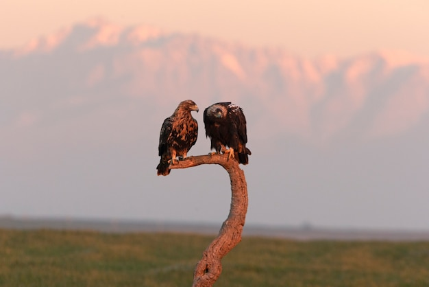 Samiec i dorosła samica hiszpańskiego orła cesarskiego z pierwszymi promieniami świtu w mroźny zimowy dzień