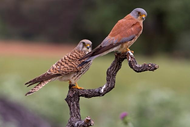 Samiec i samica pustułki w okresie godowym, sokoła, ptaków, ptaków drapieżnych, fhawk, falco naunanni