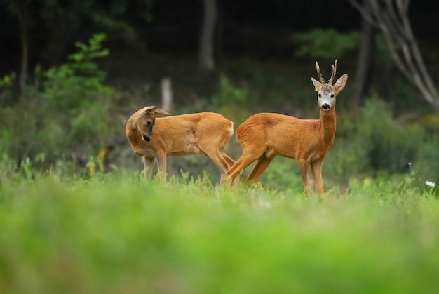Samiec i samica rogacza stojącego na polu. capreolus capreolus.