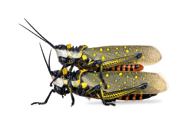 Samiec i samica szarańcza malezyjska uprawia seks, aurlarches milliaris na białym tle