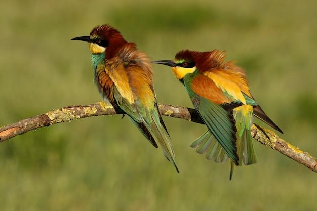 Samiec i samica żołna w okresie godowym merops apiaster
