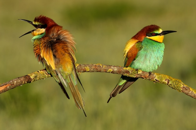 Samiec i samica żołna w okresie godowym