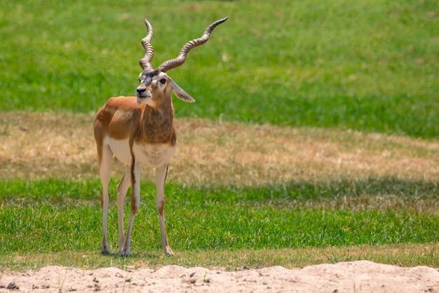 Samiec impala (aepyceros melampus). dzikie zwierzęta.