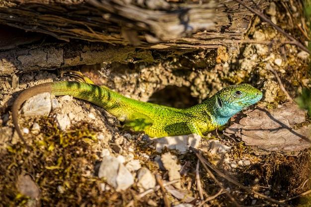 Samiec jaszczurki zielonej (lacerta viridis)