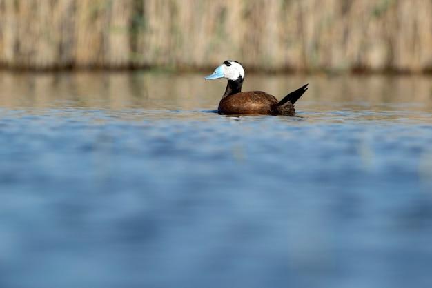 Samiec kaczki białogłowej w upierzeniu lęgowym z pierwszym brzaskiem na mokradłach w środkowej hiszpanii w słoneczny dzień
