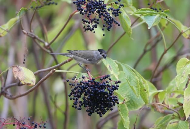 Samiec kapturki zwyczajnej (sylvia atricapilla) jest z bliska i można go zidentyfikować. ptak żeruje w krzakach czarnego bzu i trzyma w dziobie jagodę