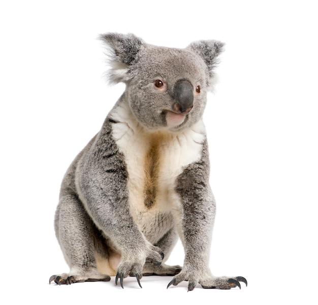 Samiec koala - phascolarctos cinereus