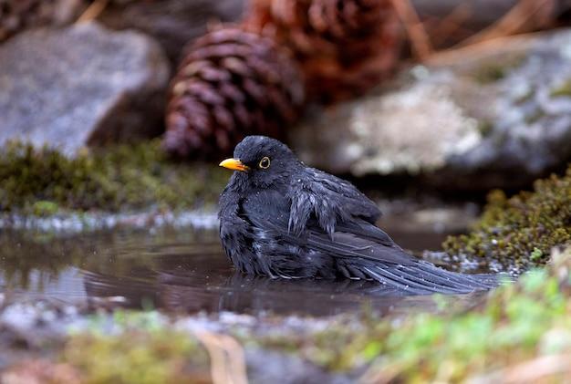 Samiec kos zwyczajny, ptaki, turdus merula