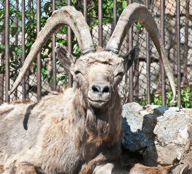 Samiec kozła górskiego (capra ibex) w zoo