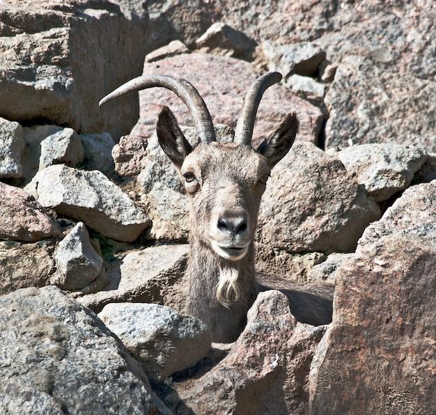 Samiec kozła górskiego wśród skał