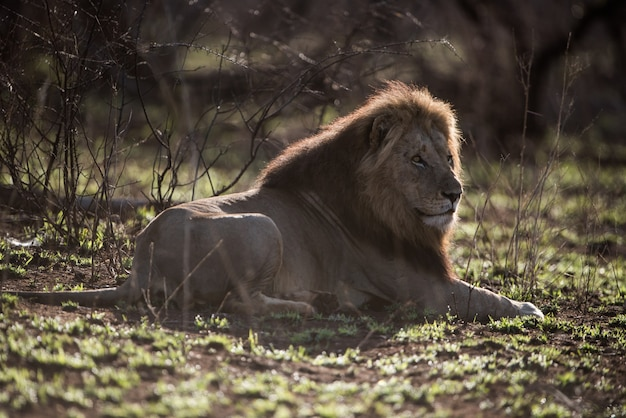 Samiec lwa spoczywa na ziemi