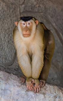 Samiec małpa z uczuciem samotny