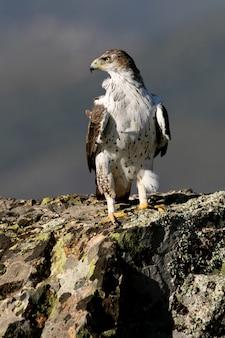 Samiec orła bonellego z pierwszym światłem porannym, aquila fasciata