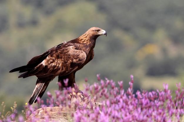 Samiec orła przedniego wśród fioletowych kwiatów z pierwszym światłem dnia