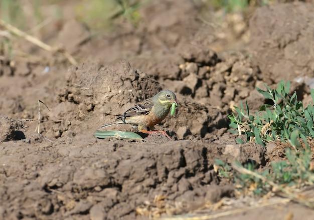 Samiec ortolana siedzi na ziemi i trzyma w dziobie zieloną gąsienicę