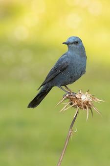 Samiec pleśniawki błękitnej w koleinowatym upierzeniu na swoim ulubionym okonie w naturze z pierwszym światłem świtu