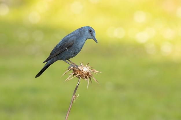 Samiec pleśniawki błękitnej w rujnującym upierzeniu w ostatnich promieniach dnia na swoim terytorium lęgowym