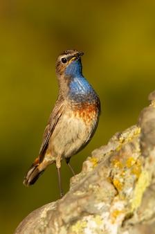 Samiec podróżniczek z upierzeniem w okresie godowym, ptaki, ptaki śpiewające, luscinea svecica