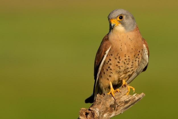 Samiec pustułki, sokoła, ptaków, raptora, jastrzębia, falco naunanni