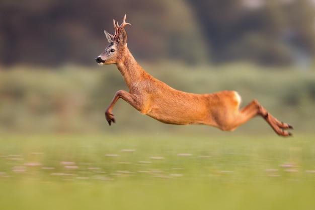Samiec sarny skacze wysoko w letniej naturze, biegając szybko