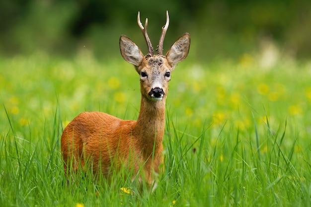 Samiec sarny z porożem stoi w świeżej zielonej trawie w lecie
