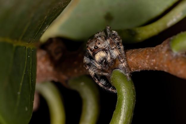 Samiec skaczący pająk z rodzaju metaphidippus