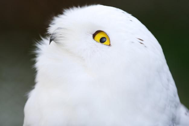 Samiec sowa śnieżna, bubo scandiacus