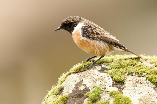 Samiec stonechat, ptak śpiewający, ptaki, stonechat, saxicola rubicola