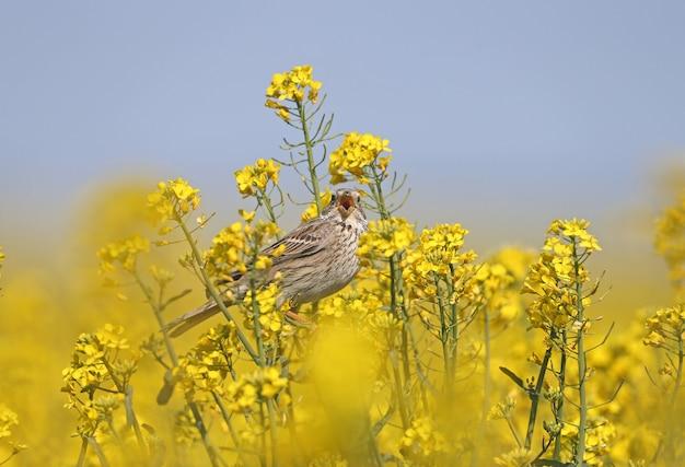 Samiec trznadel (emberiza calandra) w upierzeniu hodowlanym sfilmowany na gałęziach kwitnącego rzepaku