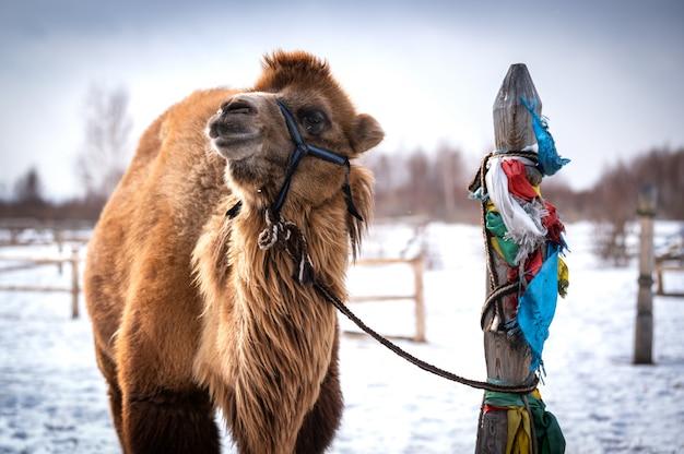 Samiec wielbłąda na syberii