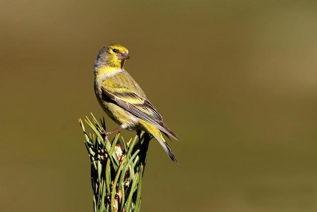 Samiec zięba cytrynowego, ptaki, wróblowaty, ptak śpiewający, zięba, cytryna, carduelis citrinella