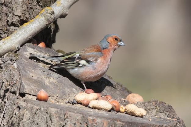 Samiec zięba siedzi na karmniku leśnym i patrzy na jedzenie