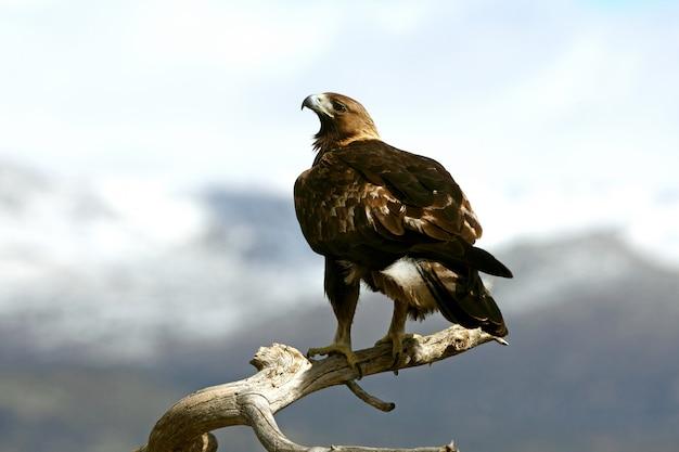 Samiec złotego orła z pierwszym światłem poranka, aquila chrysaetos
