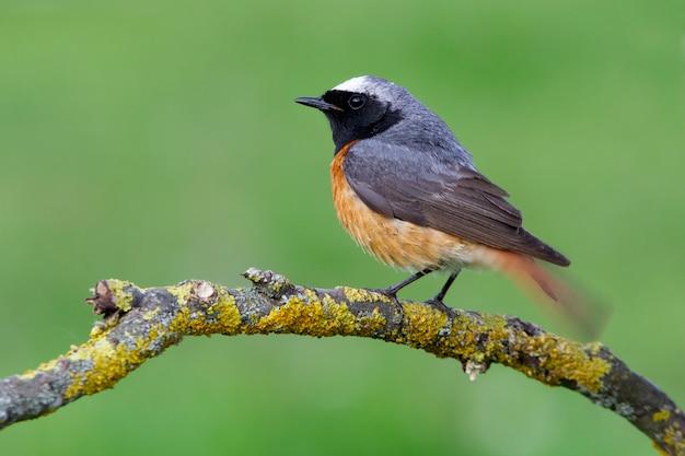 Samiec zwyczajny na nowo z ostatnimi światłami popołudnia, ptaki, phoenicurus phoenicurus