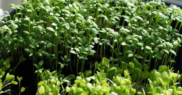 Samodzielna uprawa sadzonek do sadzenia warzyw.