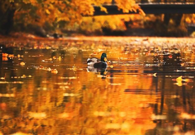 Samotna kaczka pływa w stawie z dużą ilością liści w jesiennym parku