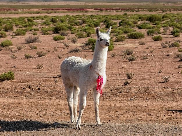 Samotna lama. jesienny krajobraz pustyni w boliwijskim altiplano. andy, ameryka południowa
