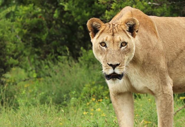 Samotna lwica spacerująca po parku narodowym słoni addo