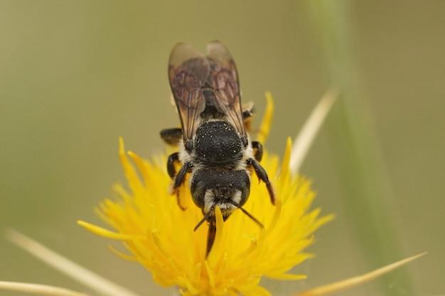 Samotna pszczoła, lithurgus chrysurus popijając nektar z żółtych kwiatów centaurea solstitialis